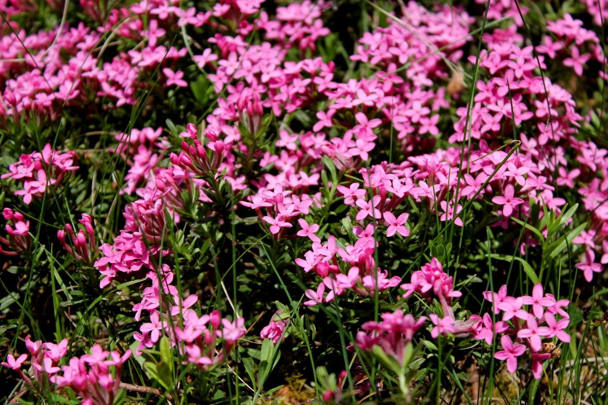 triglav-flower-legend-zlatorog-slovenia