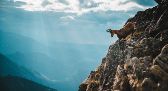 chamois-alps-slovenia-goldenhorn-legend