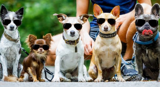a group of dogs wearing sunglasses with a dog walker