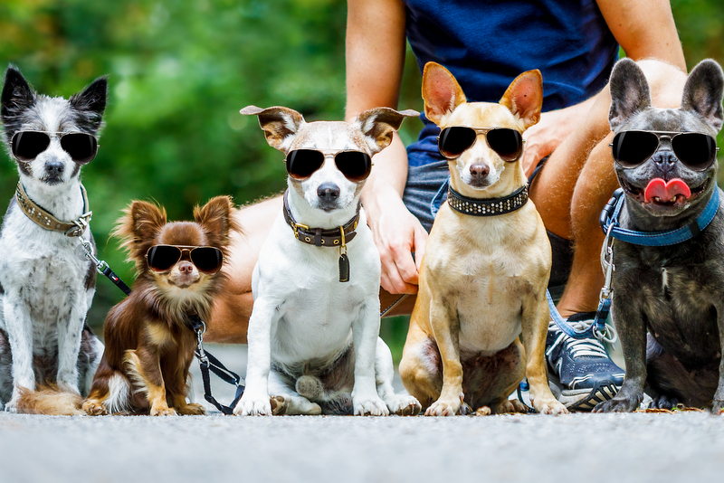 a group of dogs with their dog walker